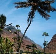 39-wyspy-zielonego-przyladka-palma